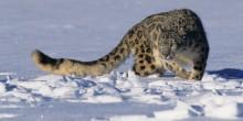 dynafit-skitourenrennen-snowleopard