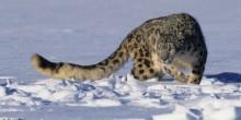 Schneeleopard-Snow-Leopard