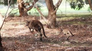 Kaengurus-Australien-Salewa