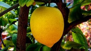 Zitrusfrucht-Zitrone