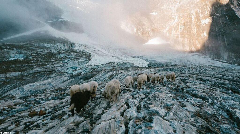 Schafe in den Schweizer Alpen